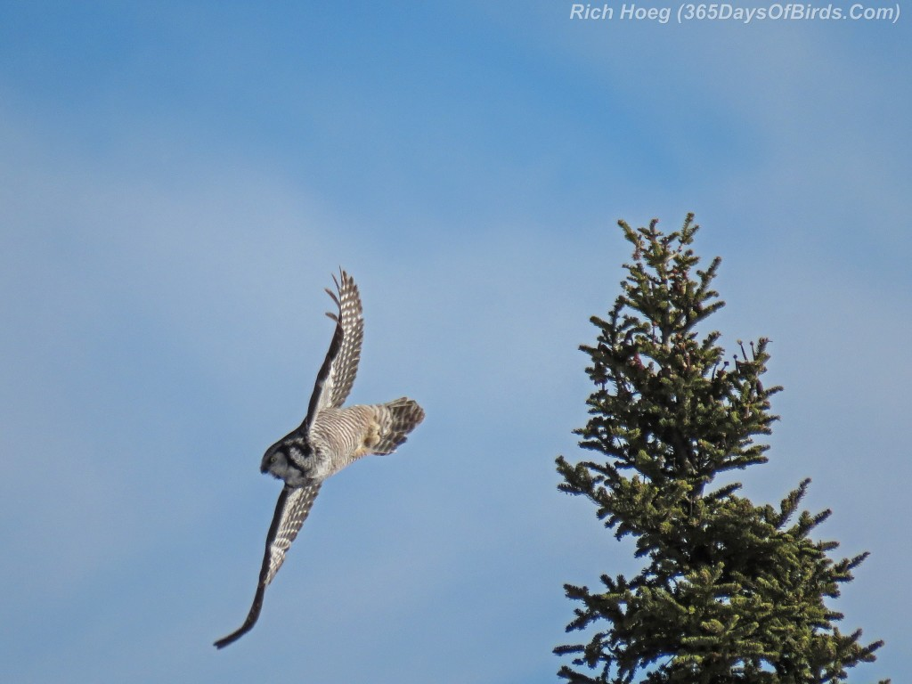 Year-2-Northern-Hawk-Owl-Diving-2