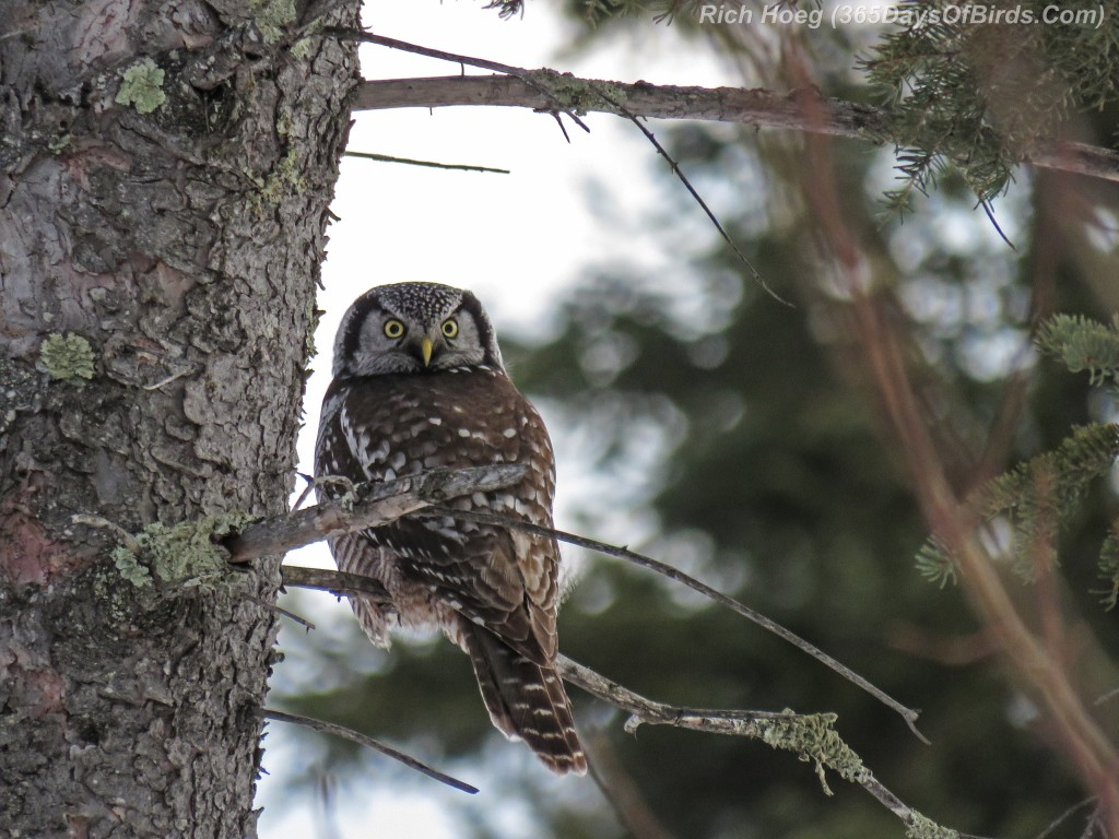 Year-2-Northern-Hawk-Owl-Perched