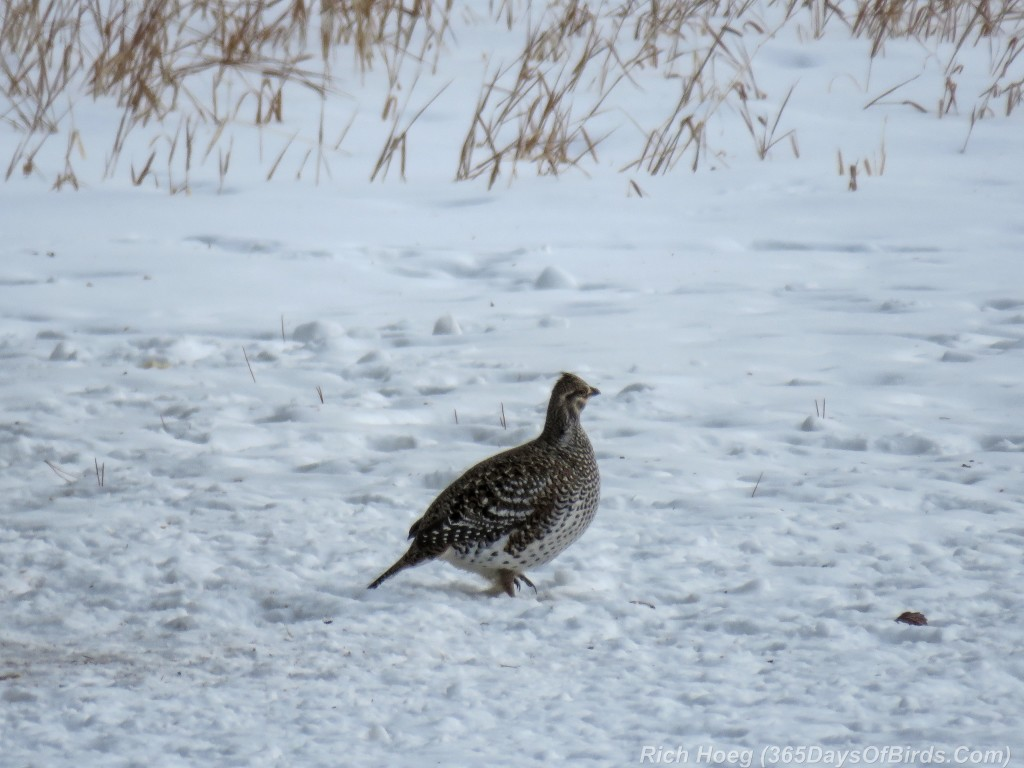 Year-2-Sharp-Tailed-Grouse
