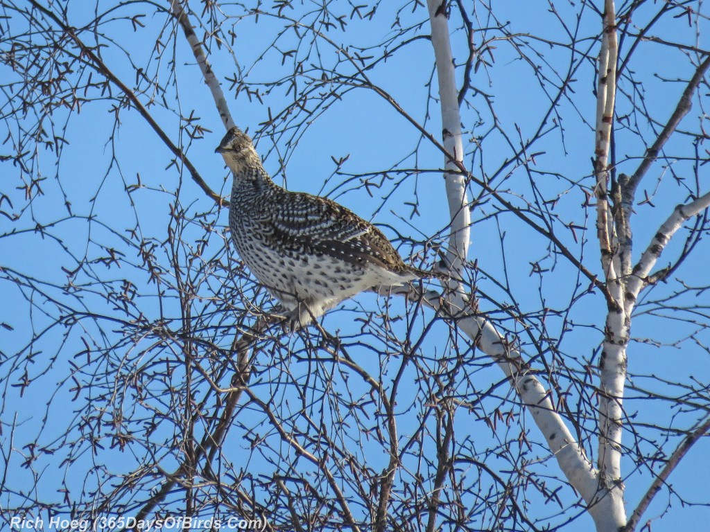 Y2-D033-Sharp-Tailed-Grouse-3
