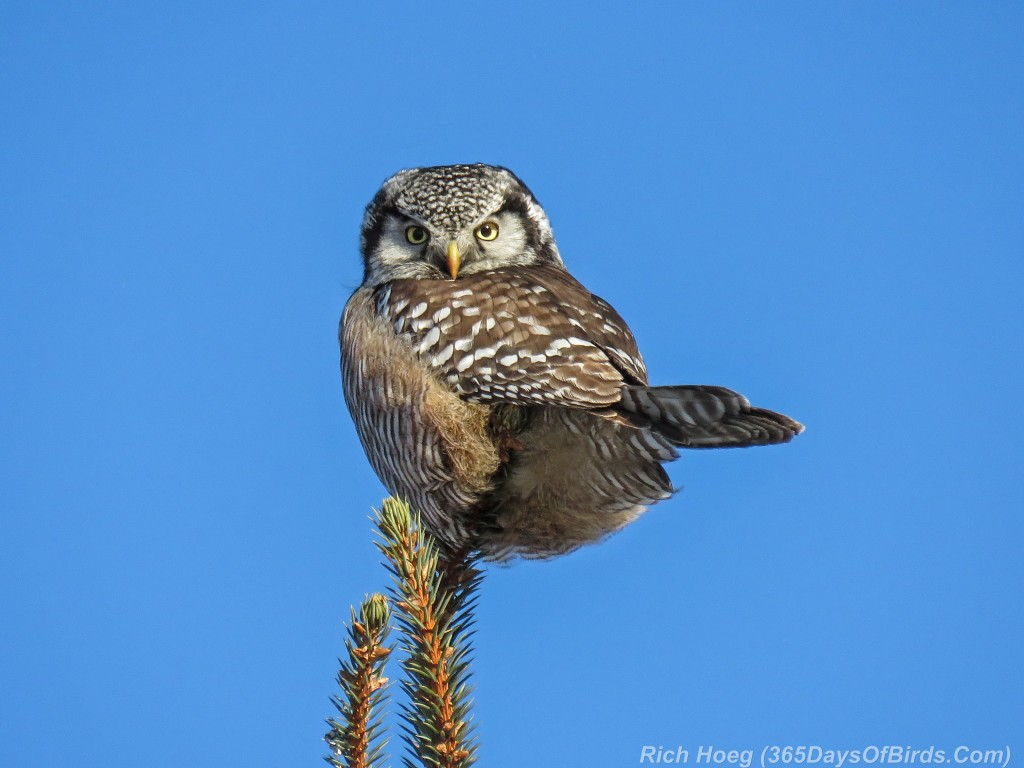 Y2-D034-Northern-Hawk-Owl-1