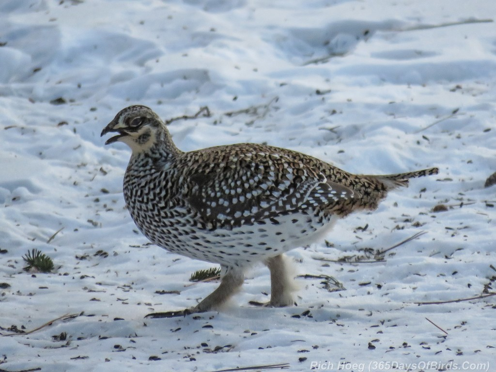 Y2-D045-Sharptail-Grouse-Courting-2