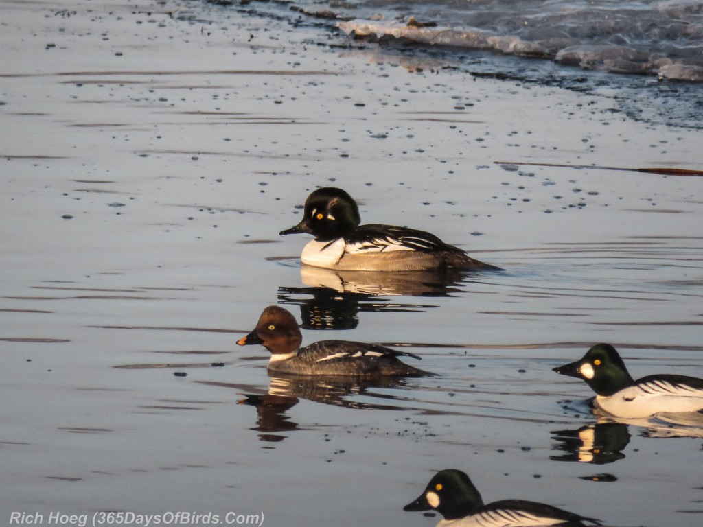 Y2-D062-Goldeneye-Hooded-Merganser