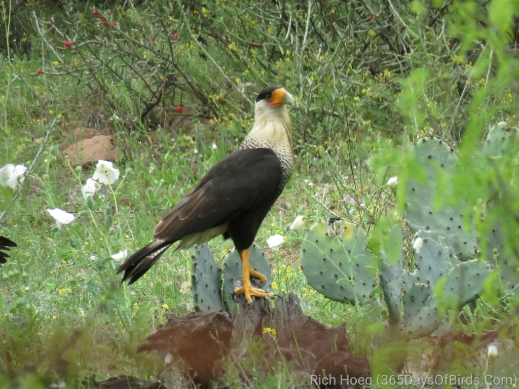 Crested-Caracara-2_wm