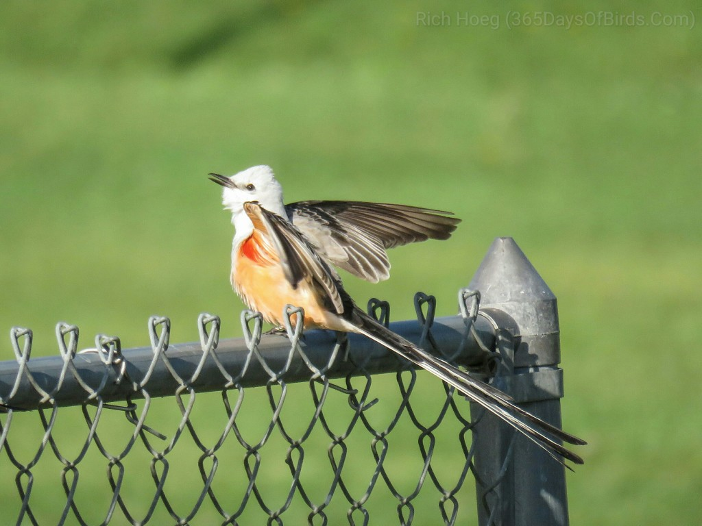 Scissor-Tail-Flycatcher-01_wm