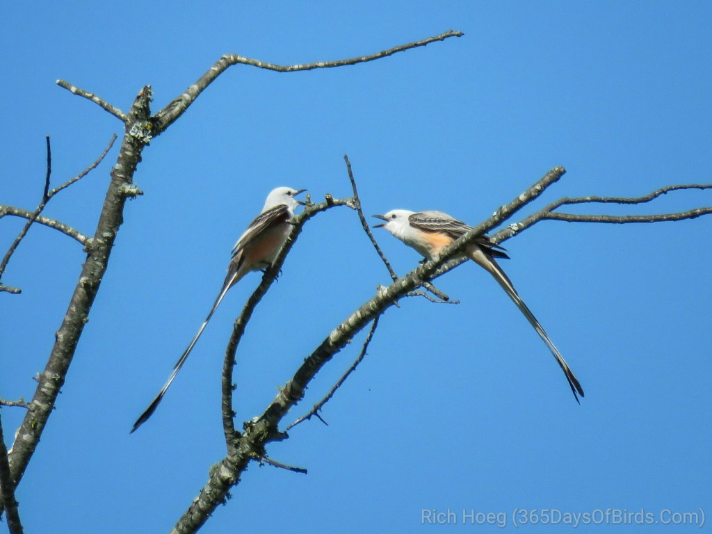 24-Scissortail-Flycatchers_wm