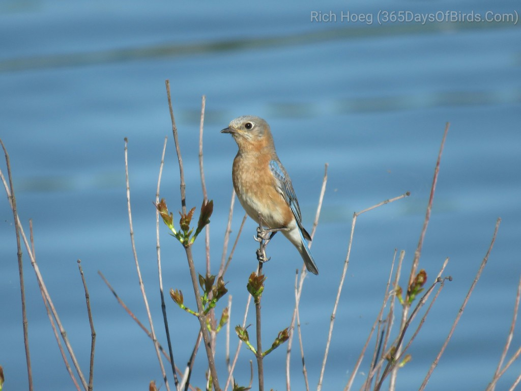 25-Female-Bluebird
