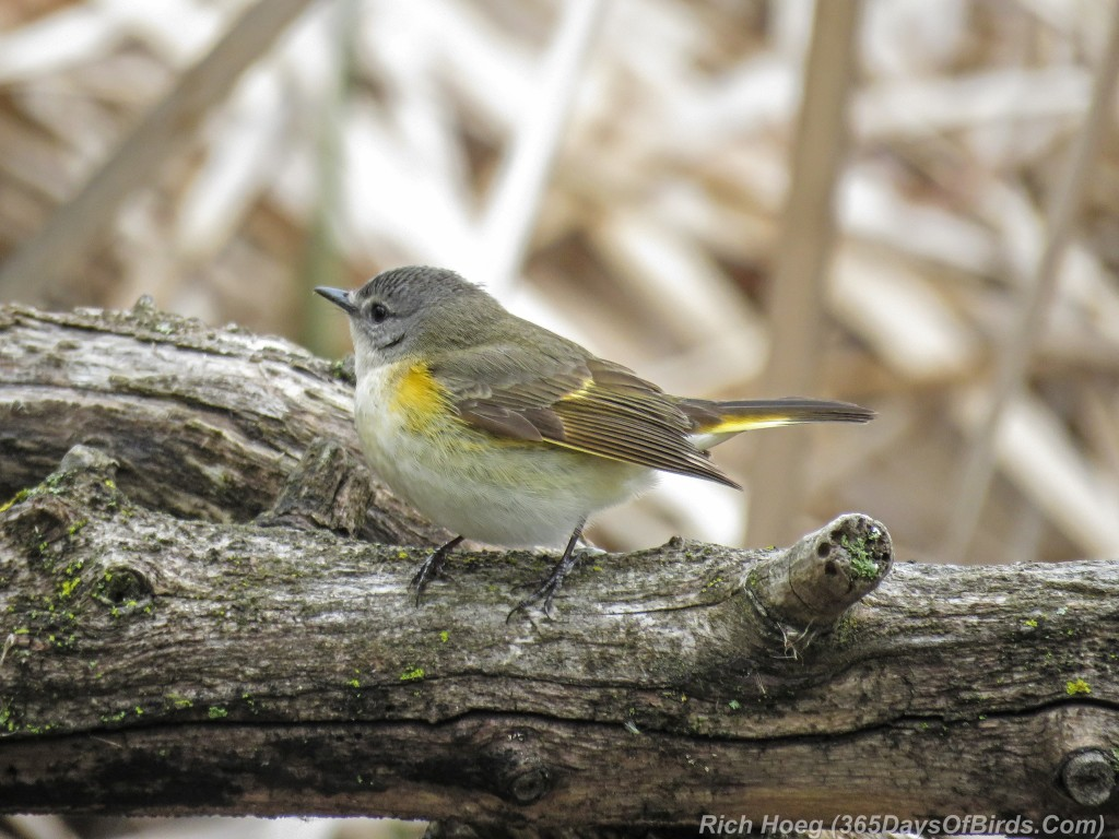 Y2-M05-18-American-Redstart-Female-2