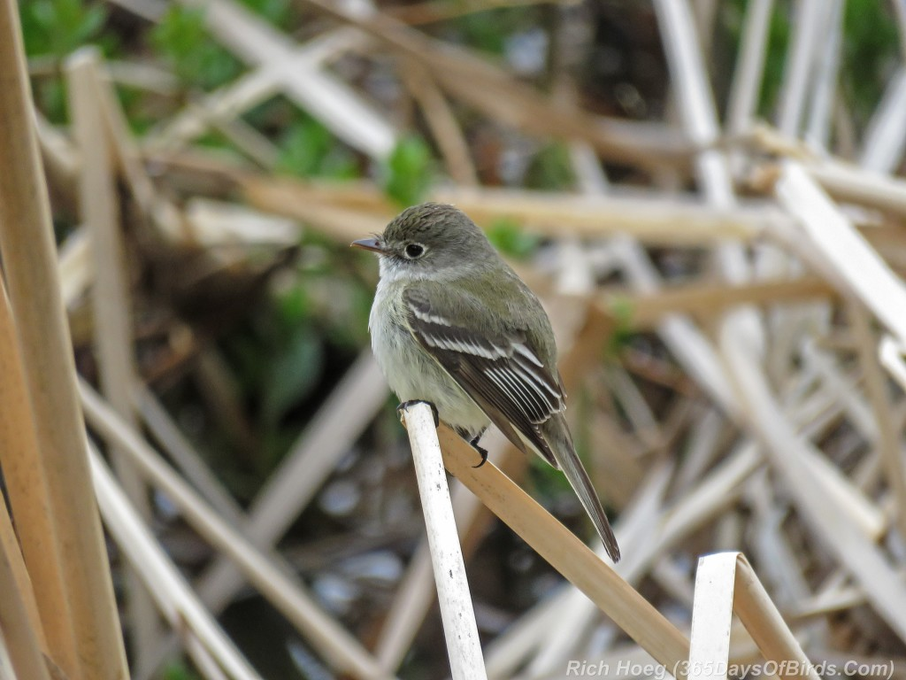 Y2-M05-18-Least-Flycatcher
