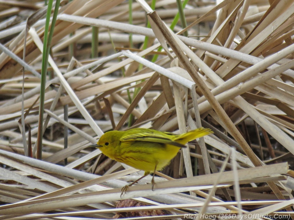 Y2-M05-18-Yellow-Warbler