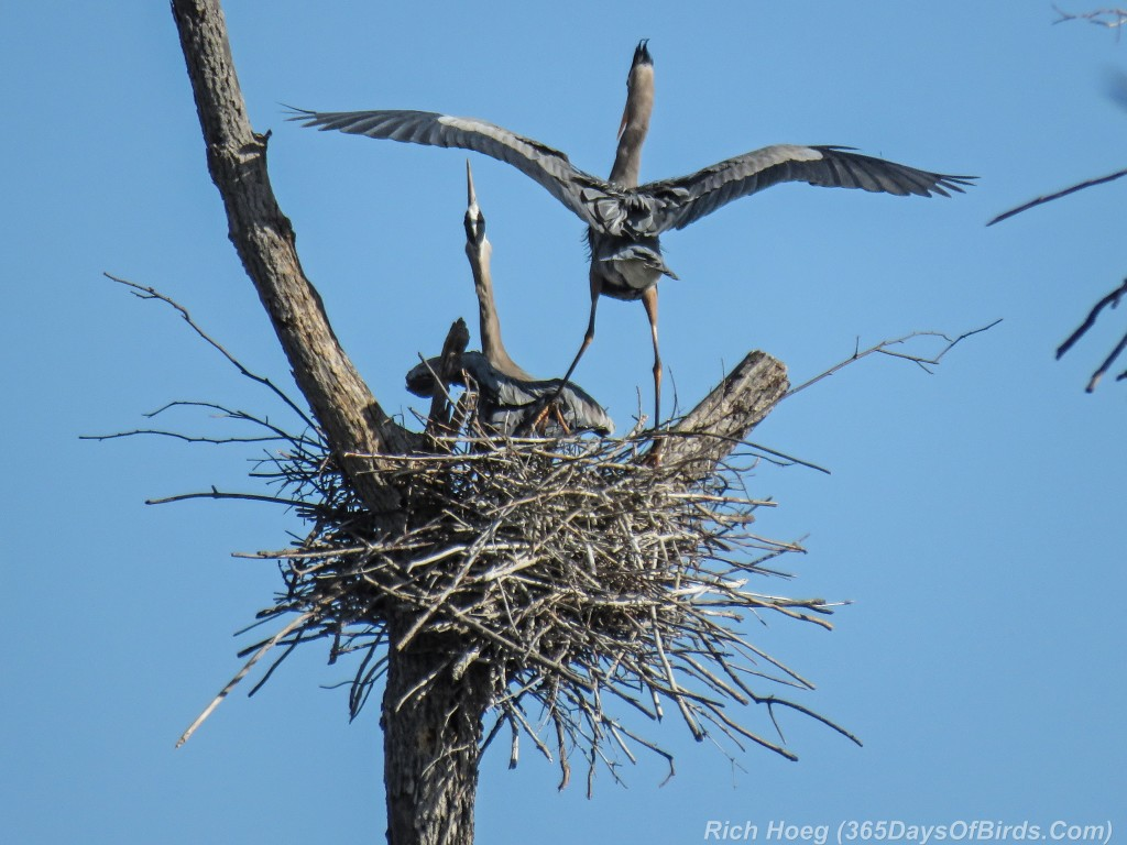 Y2-M05-19-Great-Blue-Heron-Couple-Nest-Squacking