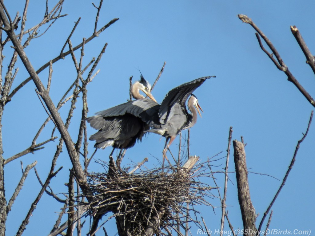 Y2-M05-19-Great-Blue-Heron-Couple-Poised-Takeoff-1