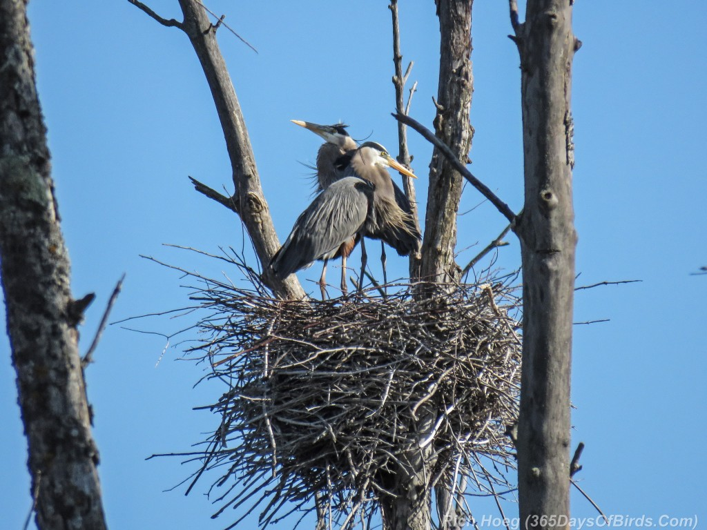 Y2-M05-19-Great-Blue-Heron-Prime-Couple-2