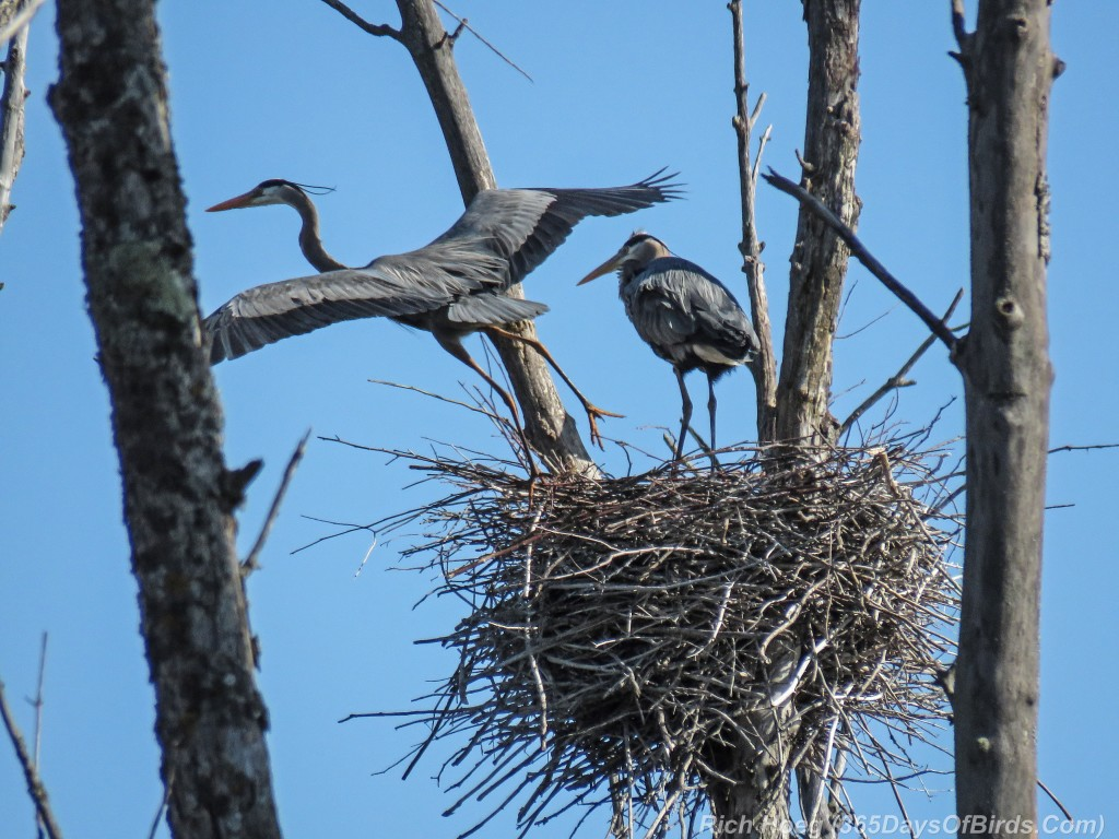 Y2-M05-19-Great-Blue-Heron-Prime-Couple-9