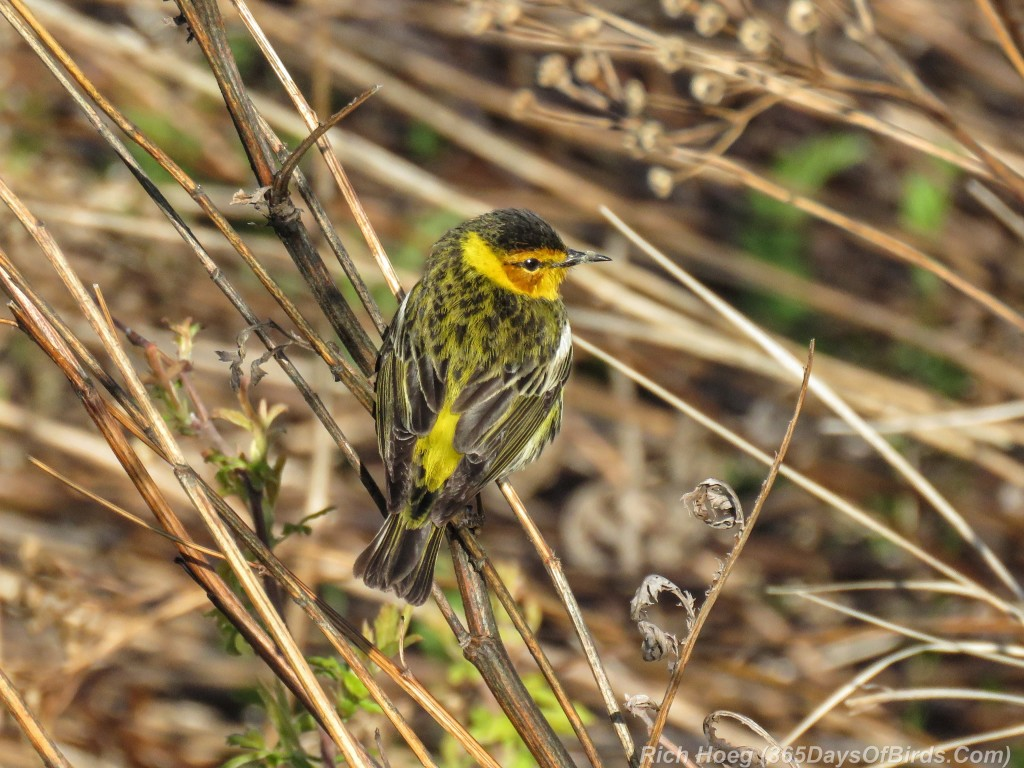 Y2-M05-20-Cape-May-Warbler