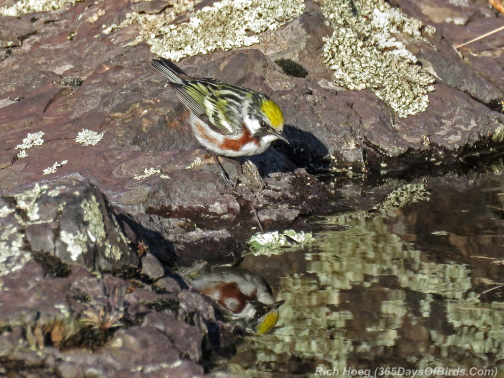 Y2-M05-20-Chestnut-Sided-Warbler-Puddle-Hunting-0-Reflection
