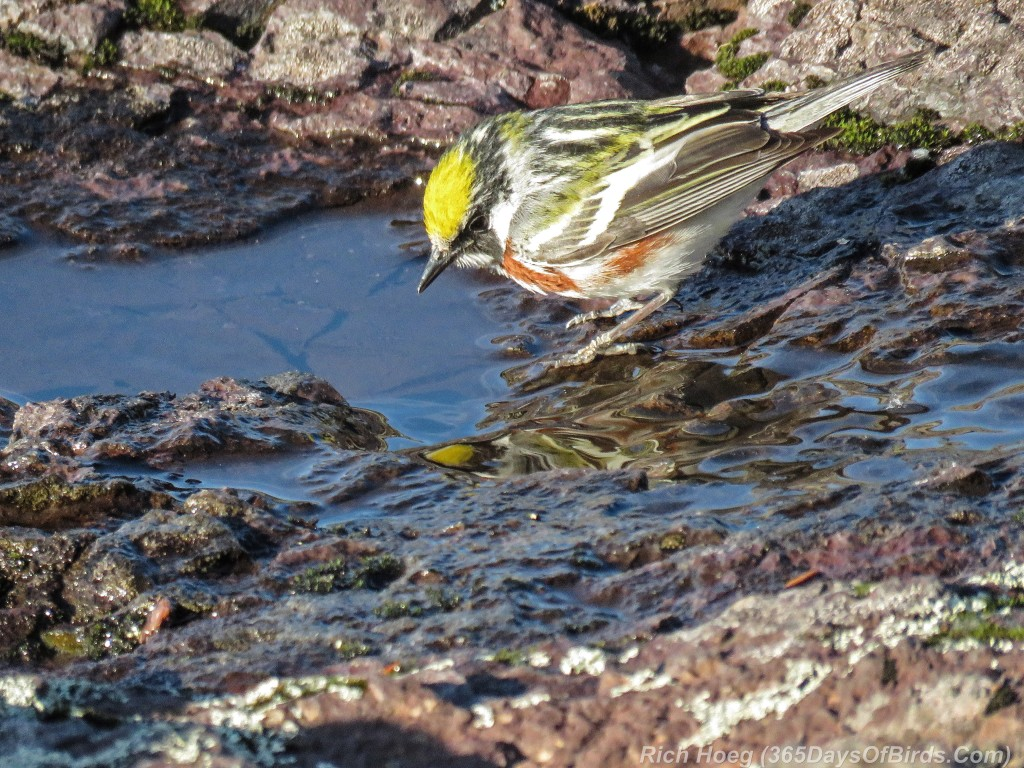 Y2-M05-20-Chestnut-Sided-Warbler-Puddle-Hunting-1