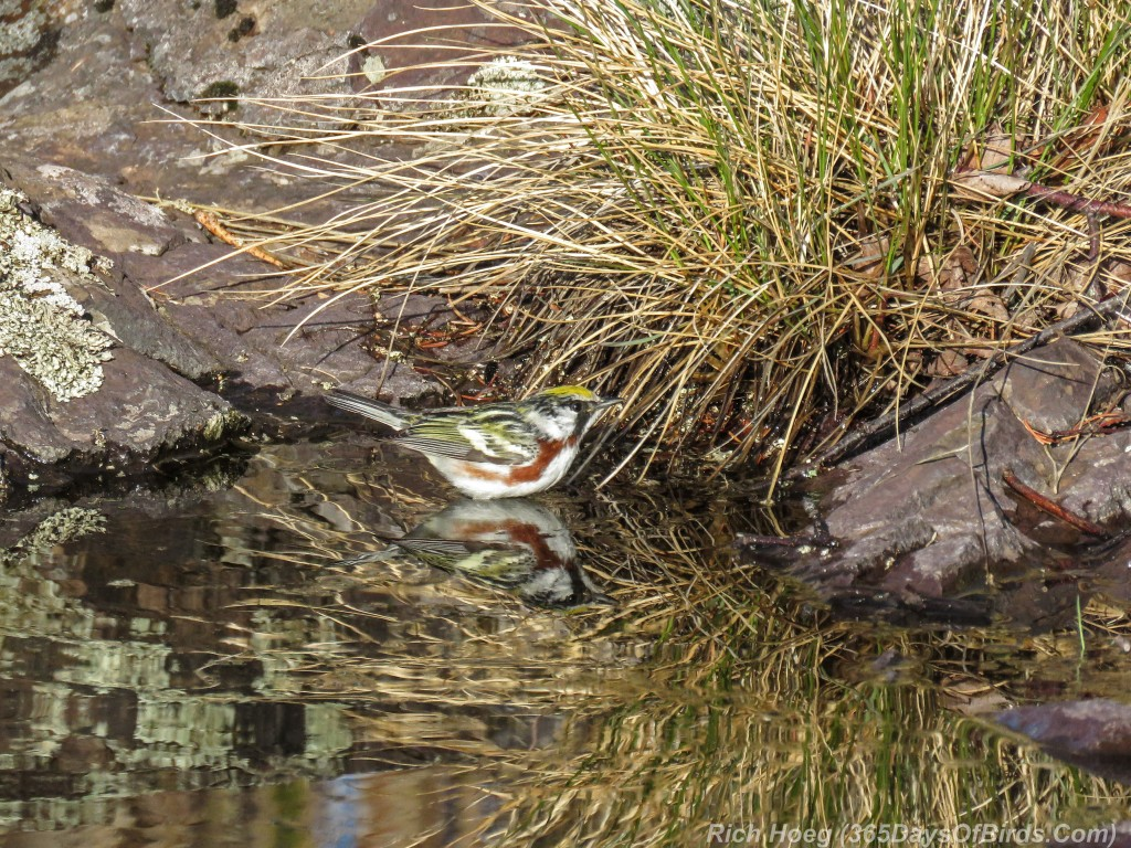 Y2-M05-20-Chestnut-Sided-Warbler-Puddle-Hunting-2-Reflection