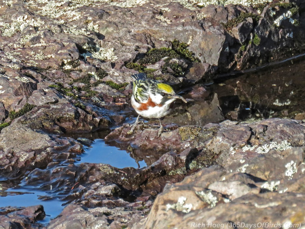 Y2-M05-20-Chestnut-Sided-Warbler-Puddle-Hunting-6