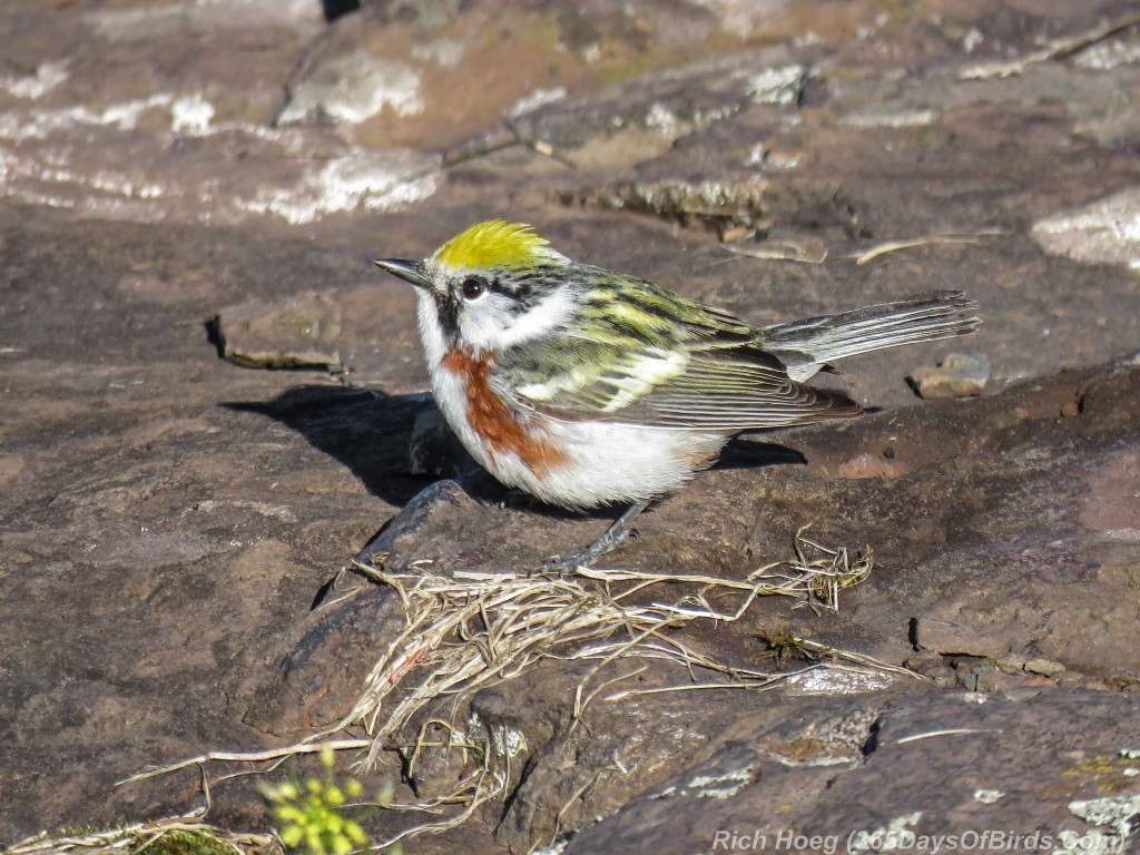 Y2-M05-20-Chestnut-Sided-Warbler-Puddle-Hunting-8-Shadow