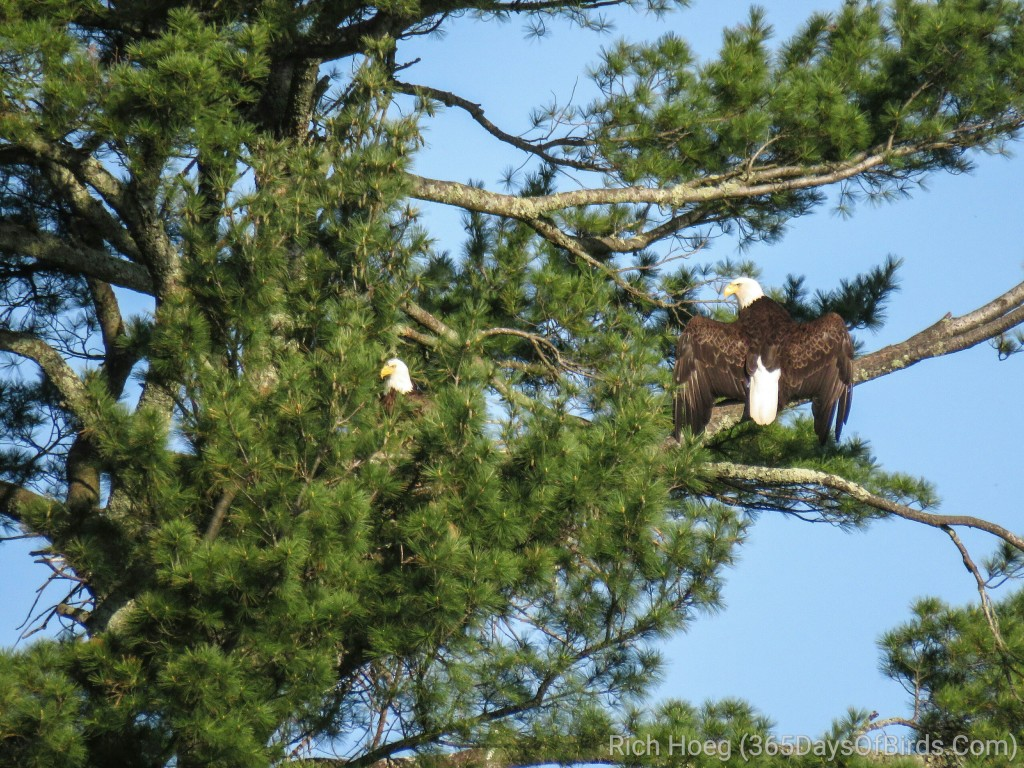 Y2-M05-Bald-Eagle-Couple