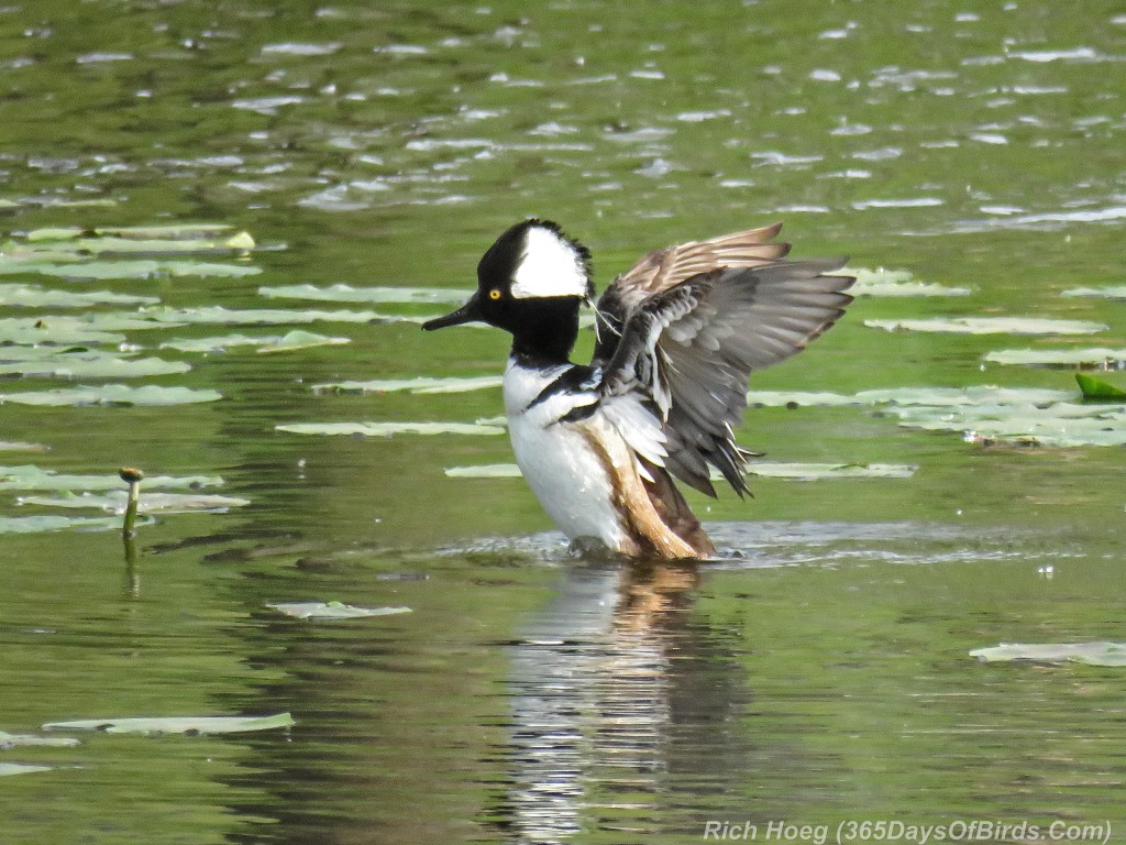 Y2-M05-Hooded-Merganser-1a