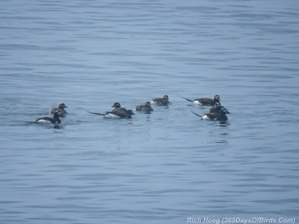 Y2-M05-Long-Tailed-Ducks-2