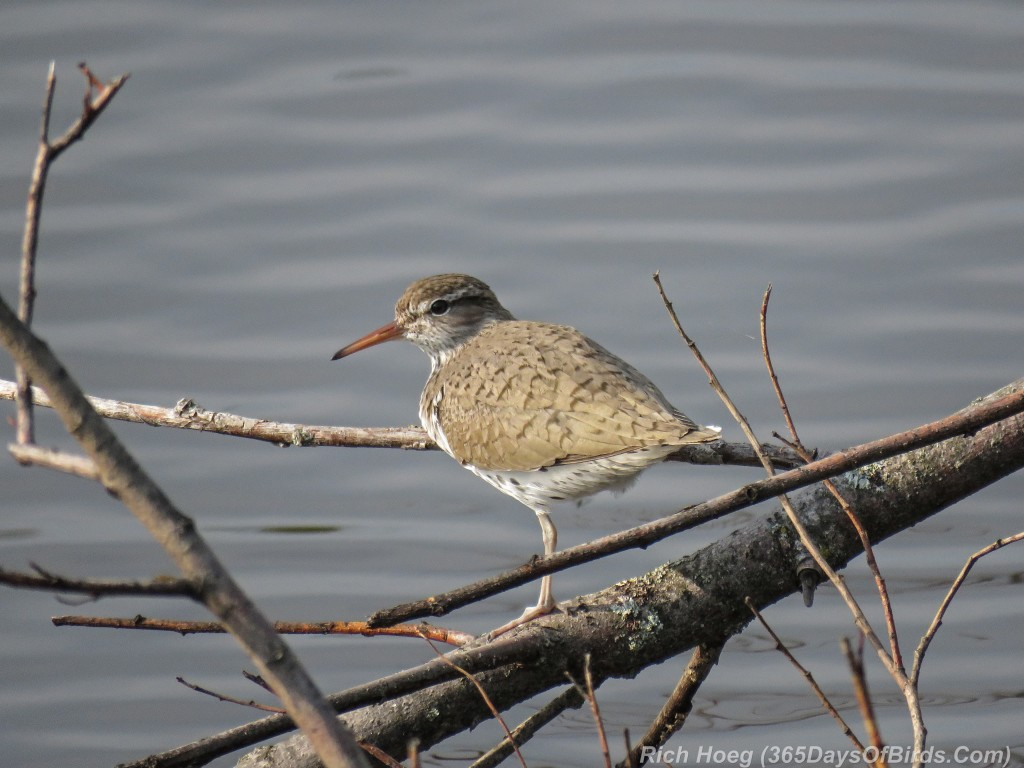 Y2-M05-Spotted-Sandpiper-1a
