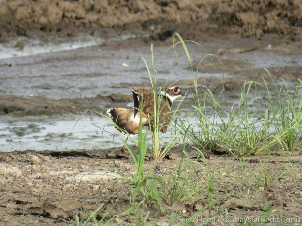 Prairie-du-Chien-Shunted-Aside-Killdeer-Broken-Wing_wm