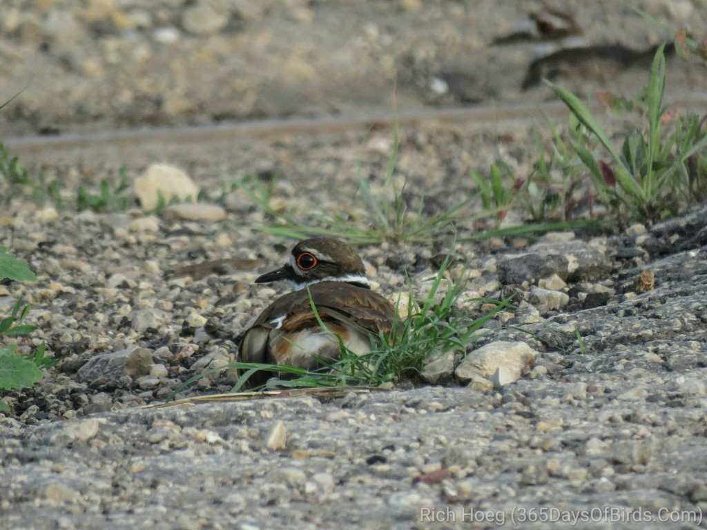 Prairie-du-Chien-Shunted-Aside-Killdeer-X2_wm