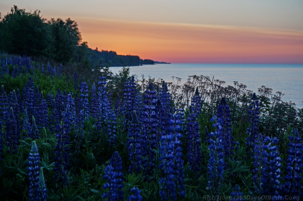 Sunrise-Lupines-1a