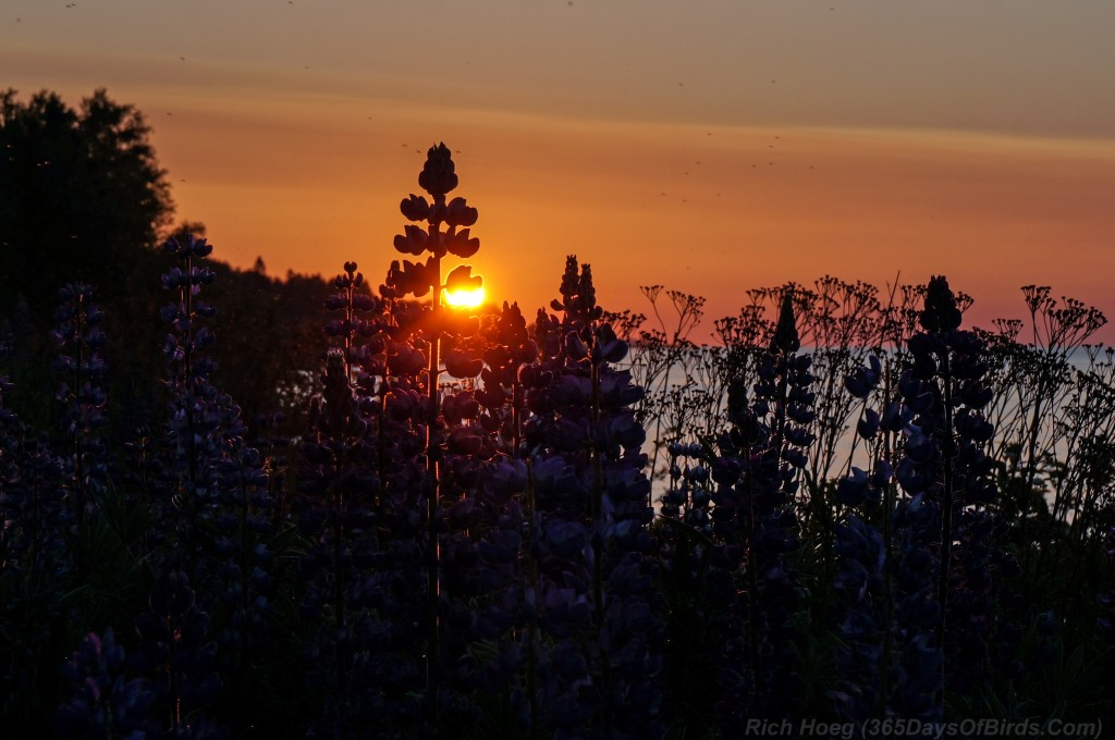 Sunrise-Lupines-2a