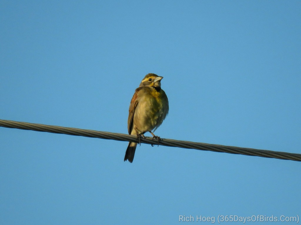 Wisconsin-River-Meadow-Eastern-Dickcissel-1_wm