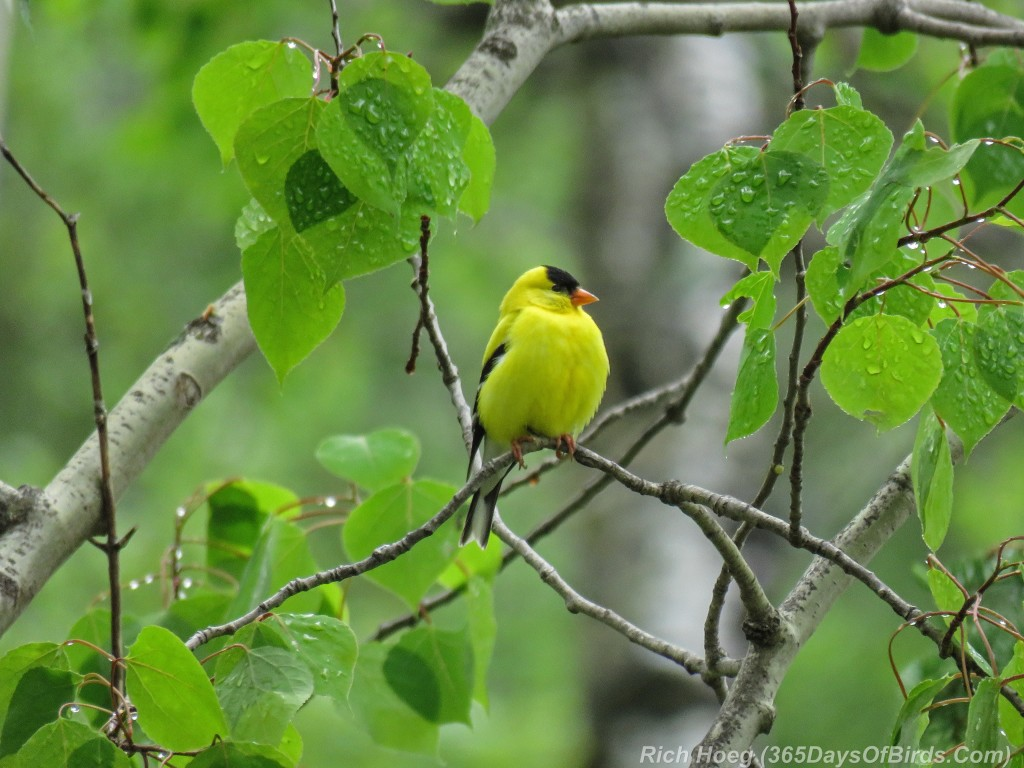 Y2-M05-American-Goldfinch-After-The-Storm