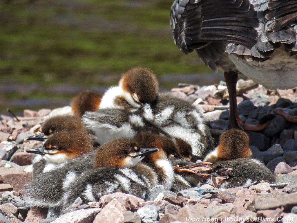 Y2-M06-Common-Merganser-Family-Nap-Time-2