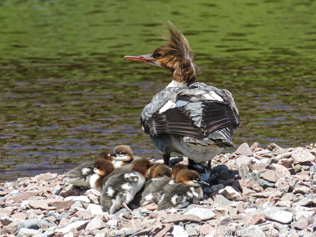 Y2-M06-Common-Merganser-Family-Nap-Time-4
