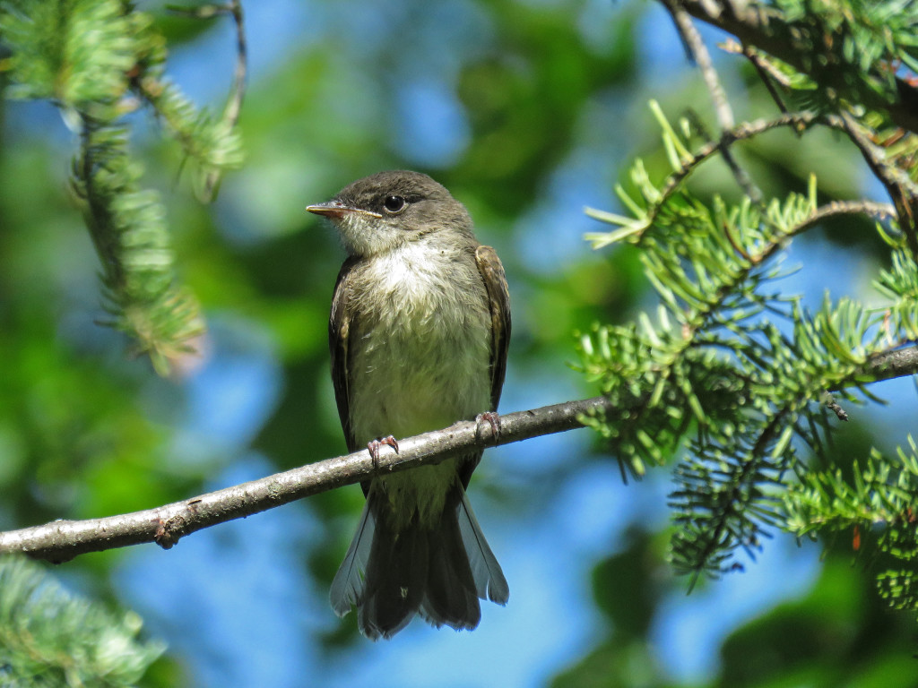 Y2-M07-Eastern-Phoebe-5-Pine-Branches-Frame