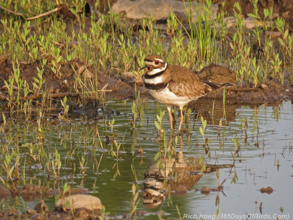 Y2-M07-Killdeer-3-Reflection-Singing
