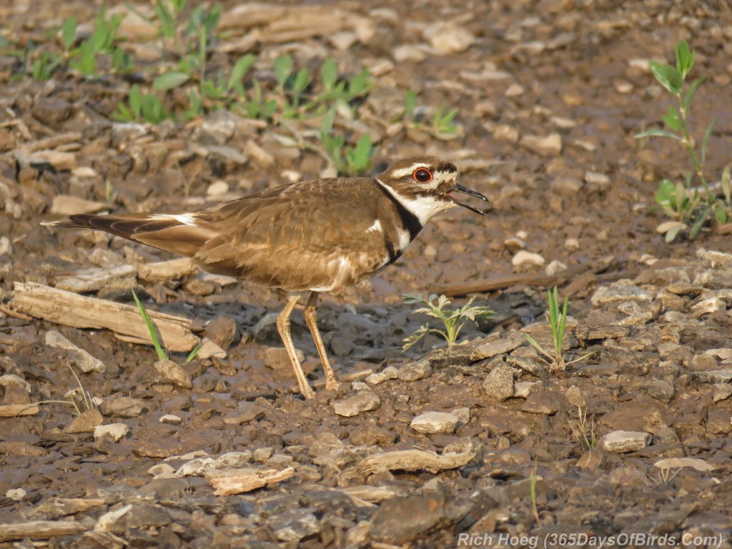 Y2-M07-Killdeer-4-Standing-Singing