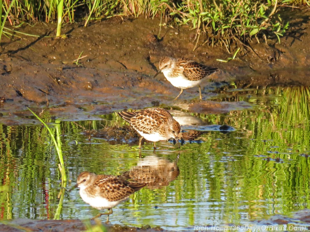 Y2-M08-Least-Sandpipers-Trio-b