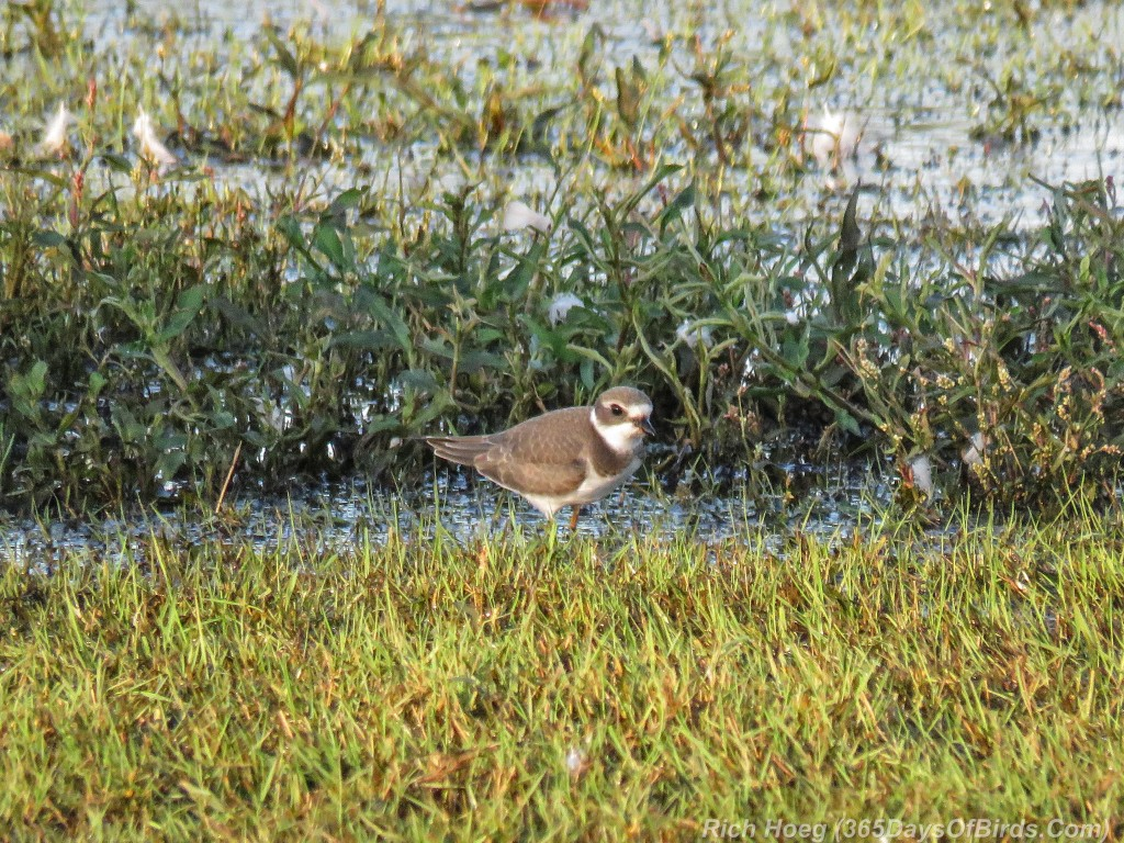Y2-M08-Park-Point-Evening-Light-Semipalmated-Plover