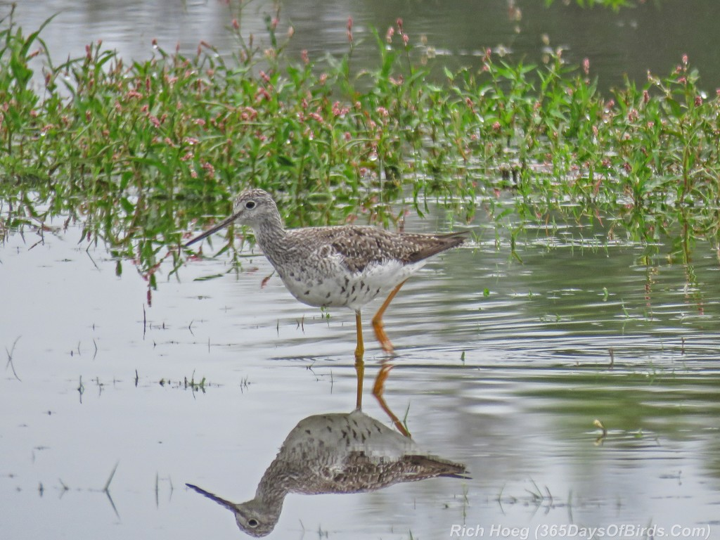 Y2-M08-Park-Point-Greater-Yellowlegs-2