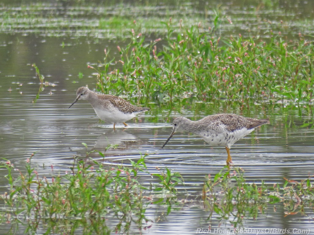 Y2-M08-Park-Point-Solitary-Sandpiper-and-Greater-Yellowlegs-1