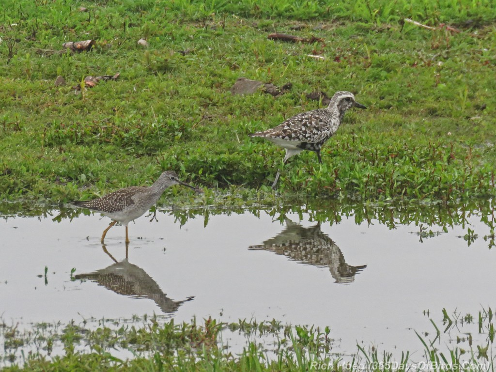 Y2-M08-ParkPoint-American-Golden-Plover-and-Lesser-Yellowlegs