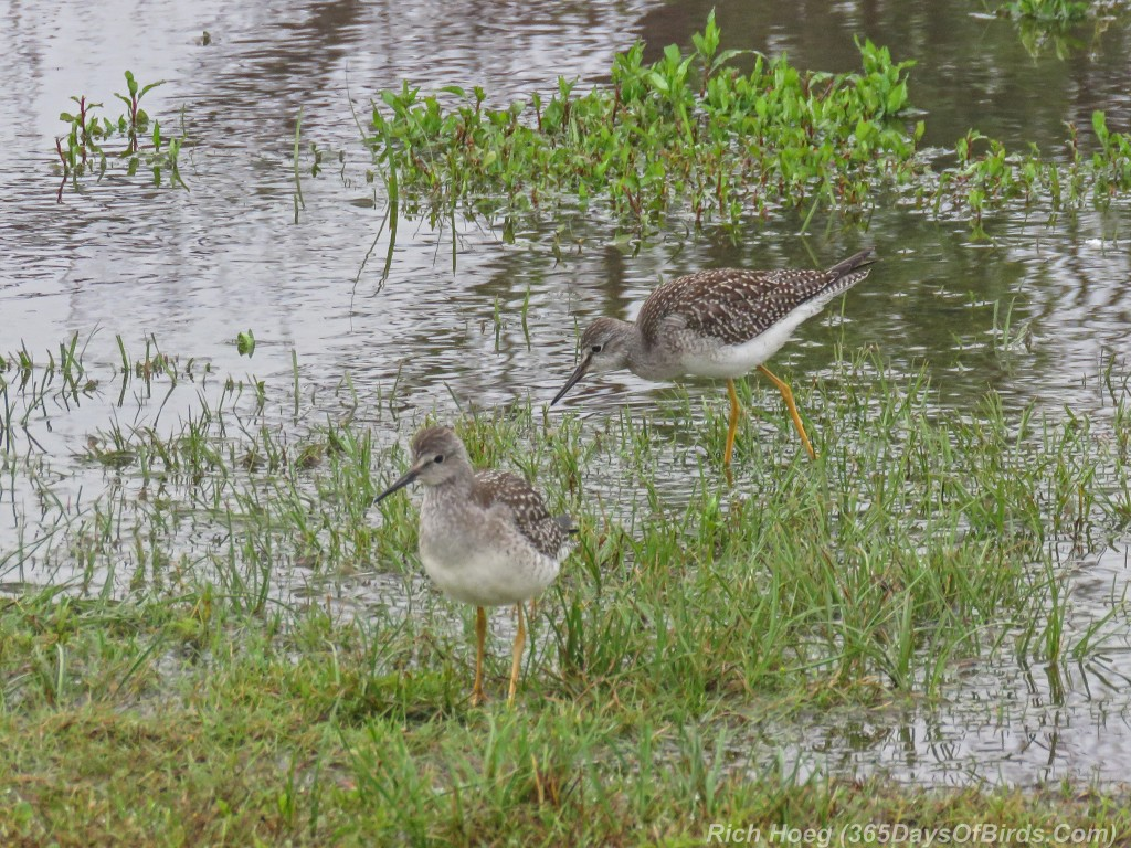Y2-M08-ParkPoint-Lesser-Yellowlegs-3-Duo