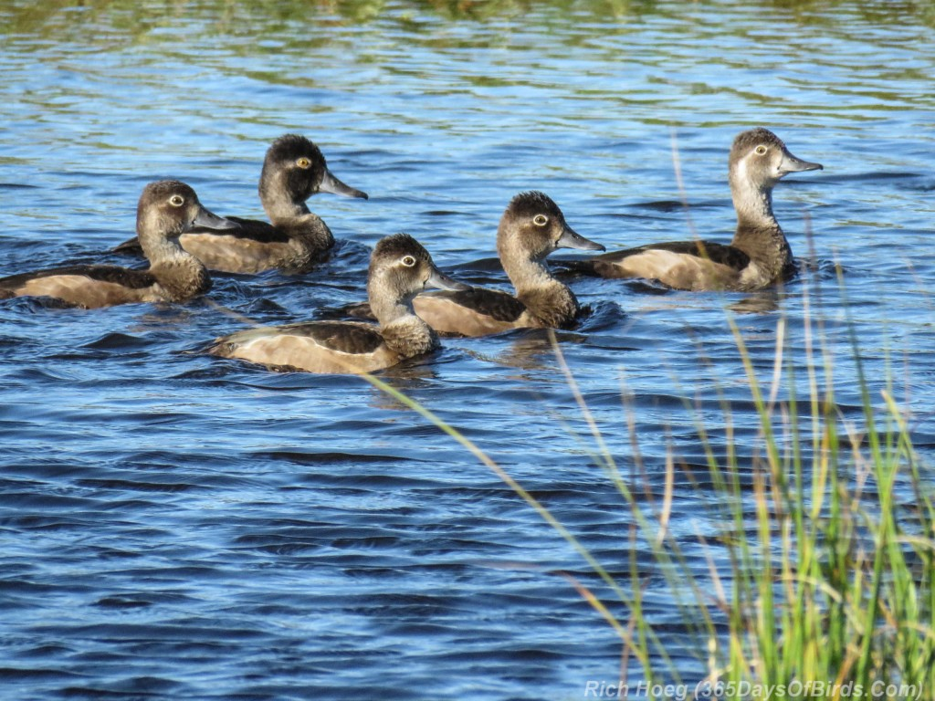 Y2-M09-Ring-Necked-Ducks-5