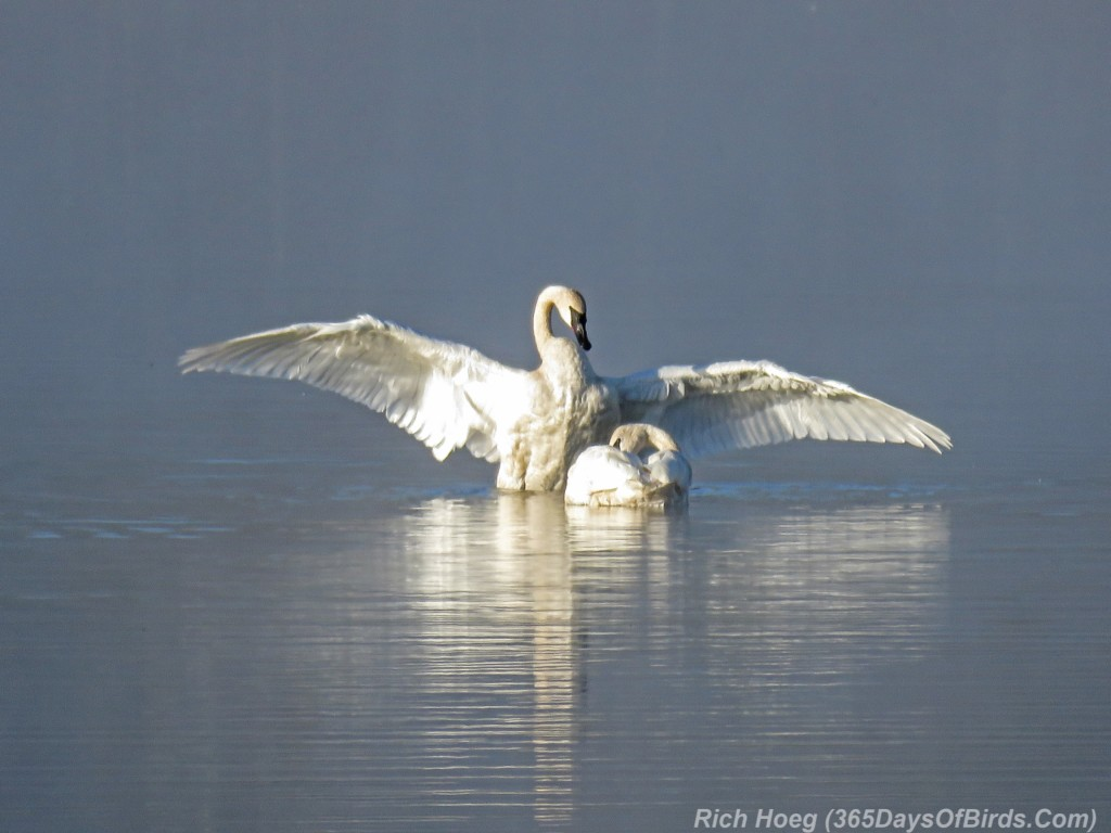 Y2-M09-Trumpeter-Swans-Morning-Mist-1