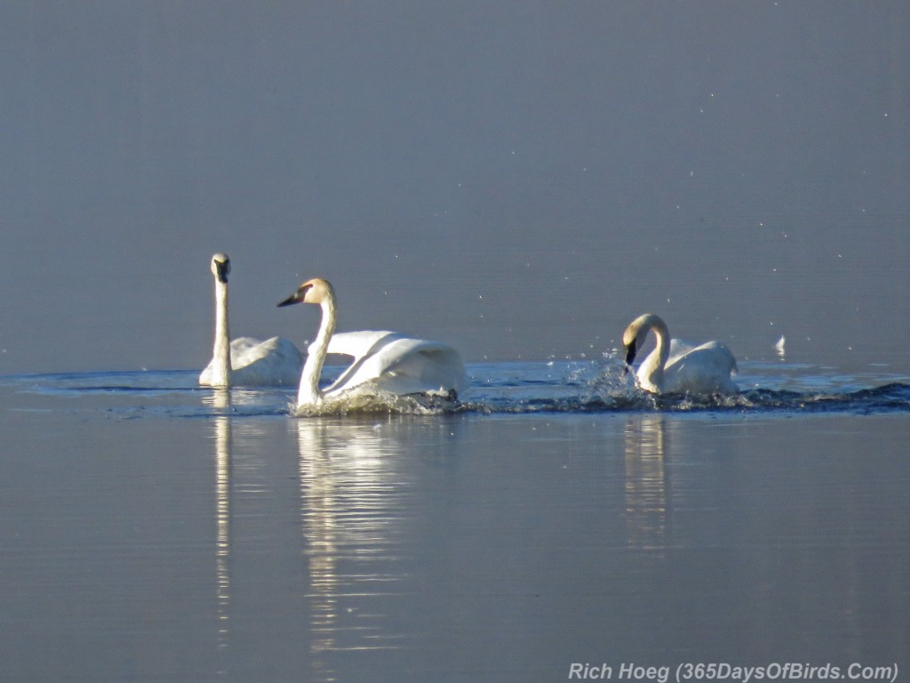 Y2-M09-Trumpeter-Swans-Morning-Mist-2