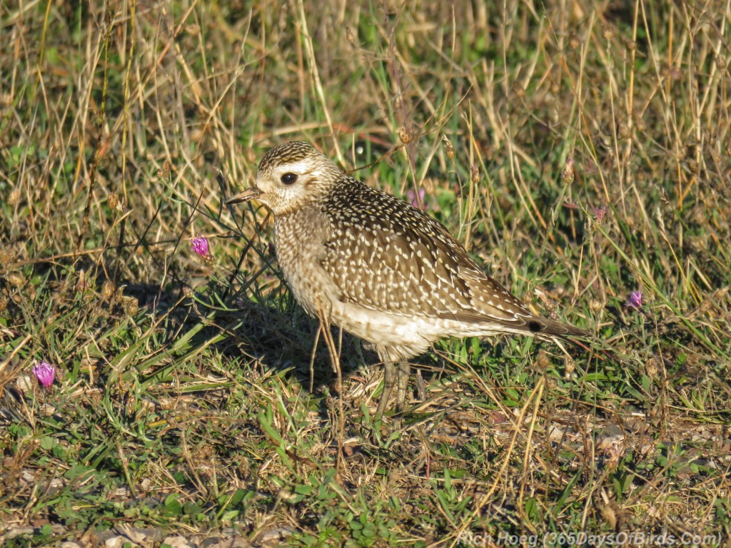 Y2-M10-Black-Bellied-Plover-Juvenile