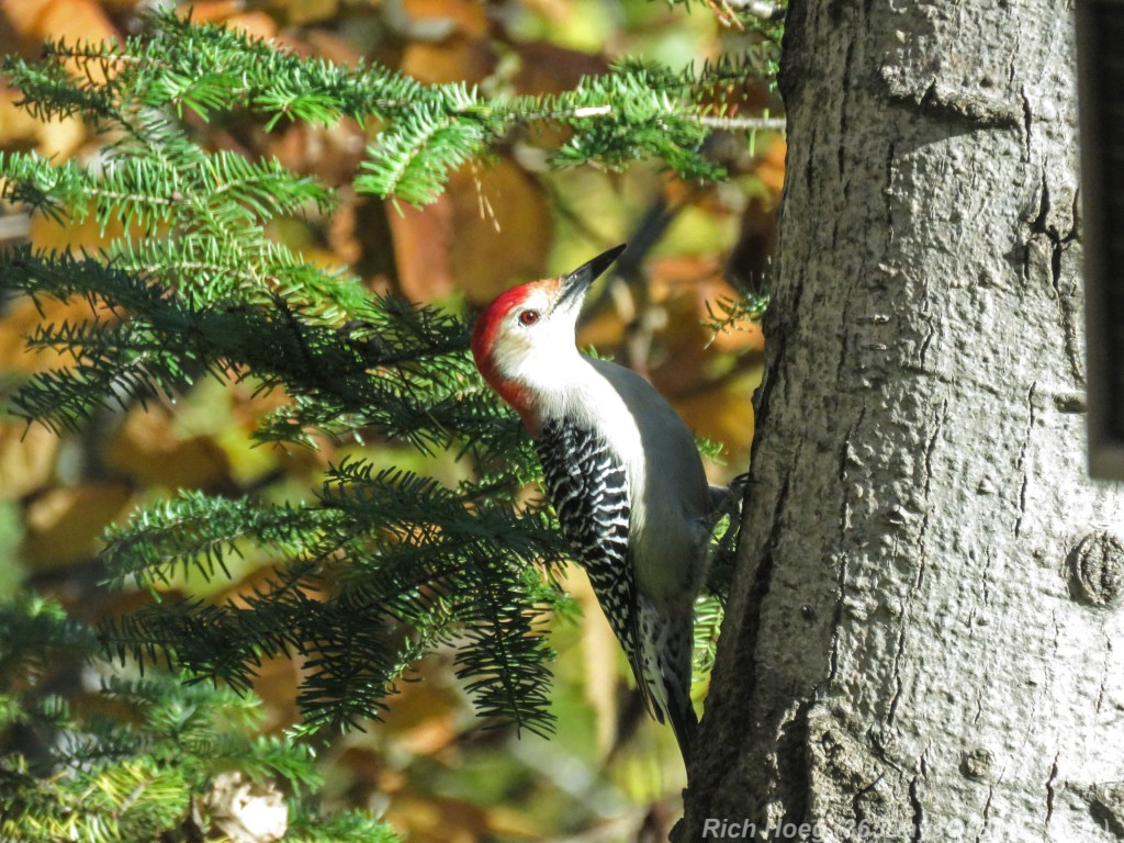 Y2-M10-Red-Bellied-Woodpecker-1
